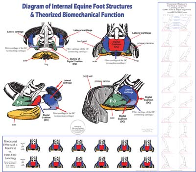 Equine Internal Hoof Anatomy & Biomechanics Chart | WC17